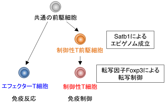 制御性T細胞発生に関わる重要な...