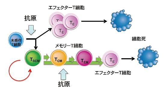免疫細胞を若返らせ、強い抗腫瘍...