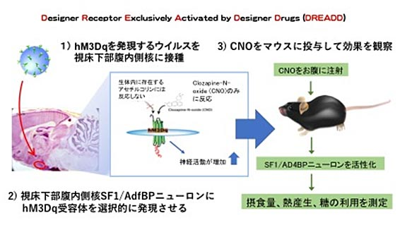 DREADD法(Designer Receptors Exclusively Activated by Designer Drug)