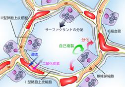 プレスリリース       ヒトiPS細胞から分化させた肺胞上皮細胞の長期培養に成功―様々な呼吸器疾患の研究進展へ貢献―