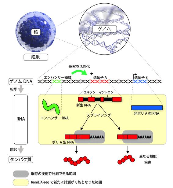 図1 ゲノムから遺伝子、RNA、タンパク質まで