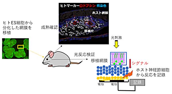 図2 ヒトES細胞由来の網膜組織移植後の組織成熟確認と光反応検証の実験概要