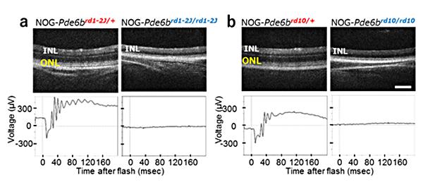 図1 重度免疫不全化した2種類のマウス末期網膜変性モデルの作製