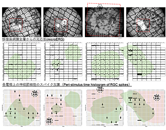 図6 マウスiPS細胞由来の網膜組織を用いた他家移植での光応答
