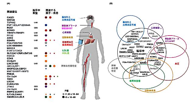 図2 脳卒中と関連する32の遺伝子領域と血管系疾患やリスク因子とのオーバーラップ
