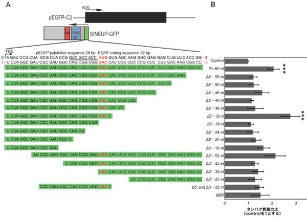 翻訳を促進するアンチセンスRNAの機能解析―遺伝子機能の低下を回復 ...