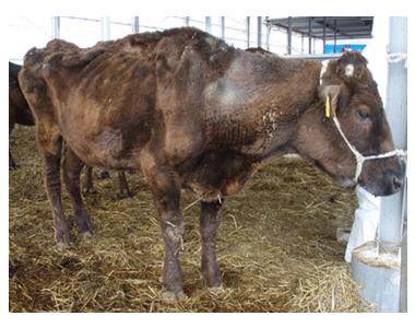 (左)削痩したヨーネ病発症牛。