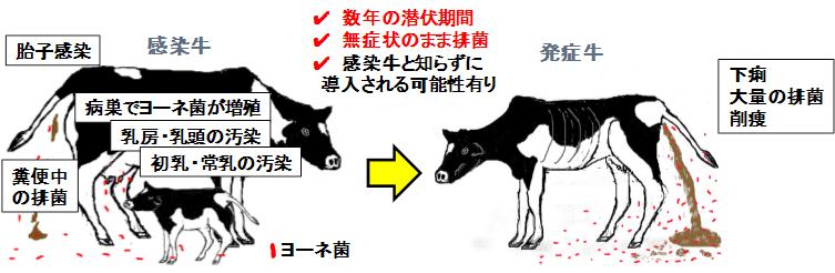 図2.ヨーネ病の感染経路・様式。農研機構提供。