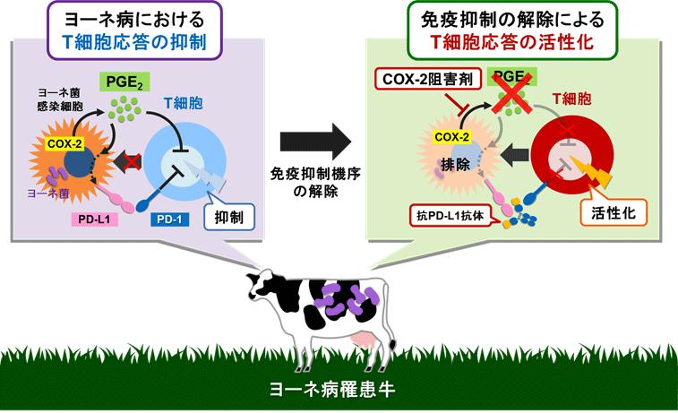 図3.本研究で解明したヨーネ病における病態発生メカニズムと免疫活性化法
