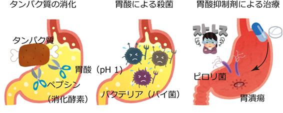 図2. 胃酸の役割