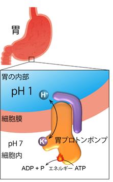 図3. 胃プロトンポンプ、H+,K+-ATPase