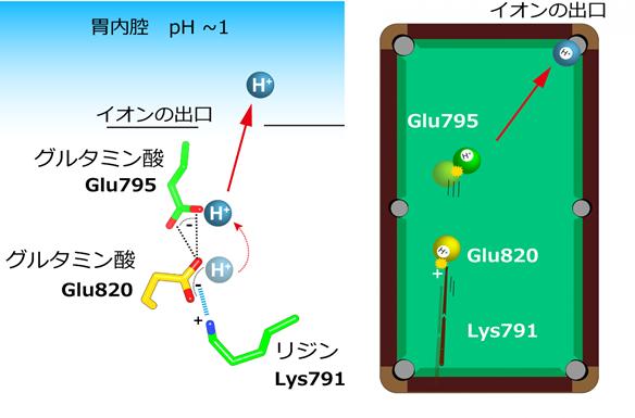 図5. 胃プロトンポンプによるH+輸送モデル(玉突きモデル)
