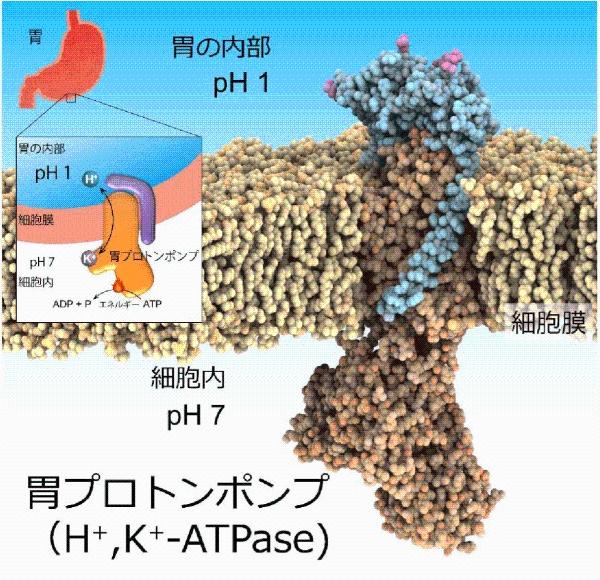 図1. 胃プロトンポンプ
