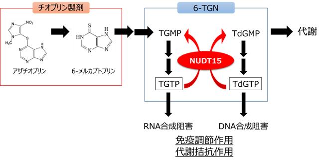 図2 NUDT15とチオプリン製剤