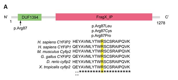 図A:患者で認められたCYFIP2遺伝子変異