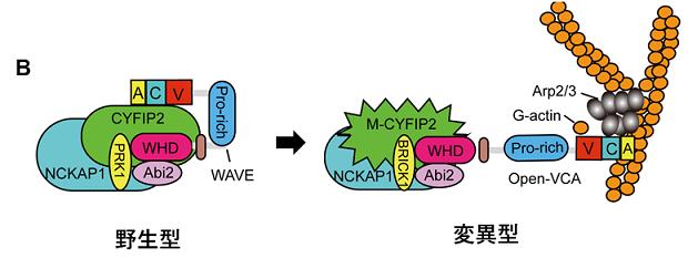 図B:WAVE複合体の模式図