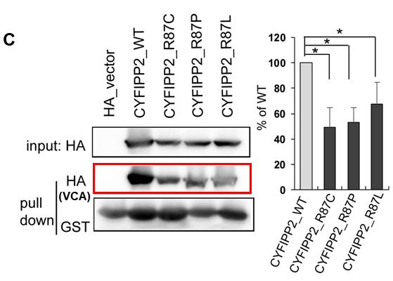 図C:正常CYFIP2に比べて(CYFIP2_WT)に比べて、変異体CYFIP2 (CYFIP2_R87C/R87P/R87L)はVCAタンパク質との結合が有意に弱くなっている