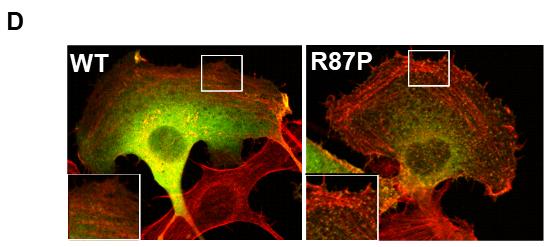 図D:正常(WT)およびCYFIP2変異体(R87P)を一過性発現させた細胞の免役染色像