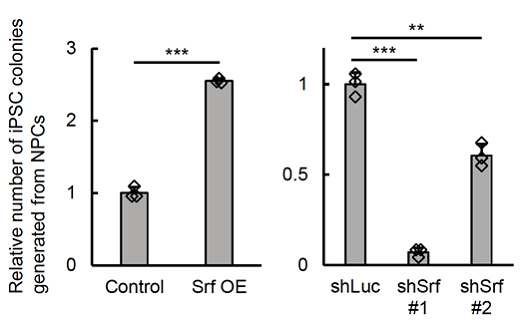 図2 SrfがiPS細胞コロニーを増加させる