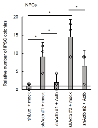 図1 βアクチンがiPS細胞化を妨げる
