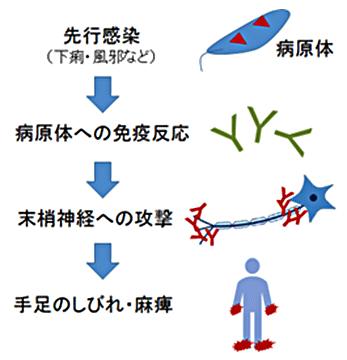 図1. ギラン・バレー症候群がおきるメカニズム