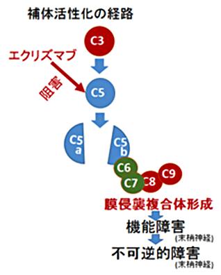 図2. ギラン・バレー症候群における補体活性化と神経障害の進展