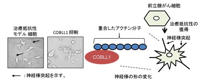 図2.細胞形態におけるCOBLL1の役割