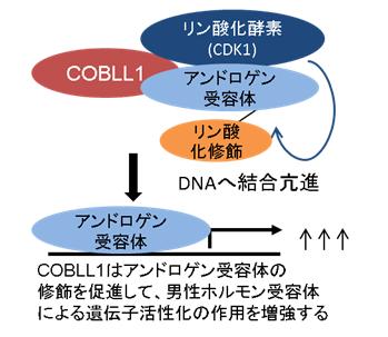 図3.COBLL1はアンドロゲン受容体を活性化する。