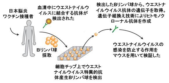 ISAAC法によるヒト抗ウエストナイルウイルス モノクローナル抗体樹立