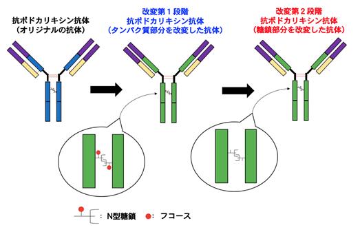 図1.抗ポドカリキシン抗体に2段階の改変を加えることにより、より効率的にがん細胞を殺傷する能力を与えた。