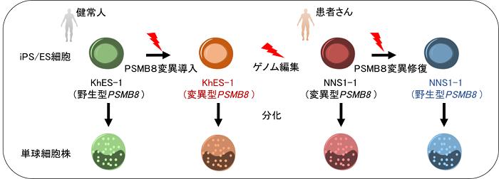 図1:患者さん由来iPS細胞とゲノム編集技術を用いた本研究のモデル図