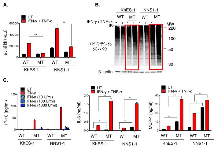 図2:患者さん由来iPS細胞から作製した単球でのプロテアソームの活性化、ユビキチン化タンパク質の蓄積と炎症性サイトカインの産生