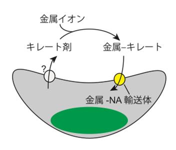 図2.ゲノム情報から予測される金属イオンの取込みモデル