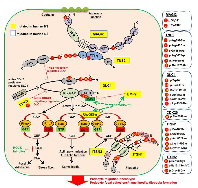 図2.本研究で同定されたネフローゼ症候群の病因遺伝子群とその役割