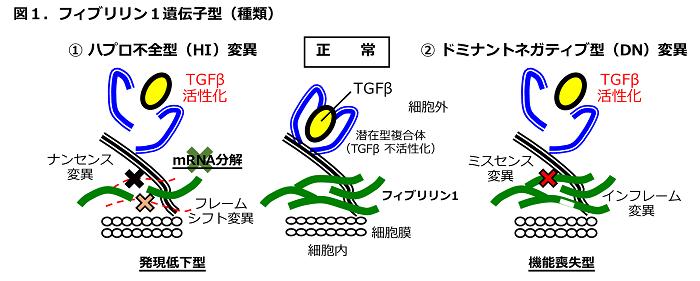 図1 フィブリリン1遺伝子型(種類)