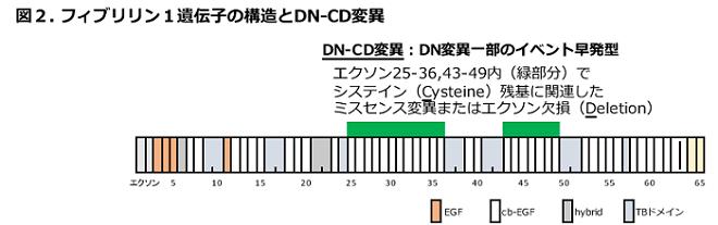 図2 フィブリリン1遺伝子の構造とDN-CD変異