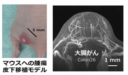 図3 皮下移植がんモデルによる高解像血管イメージング