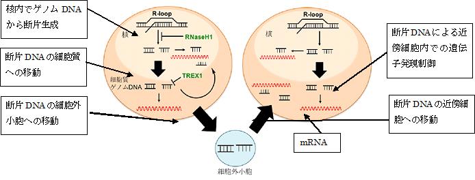 図1 核由来の細胞質ゲノムDNAによる遺伝子発現制御機構の詳細(今回の発見)