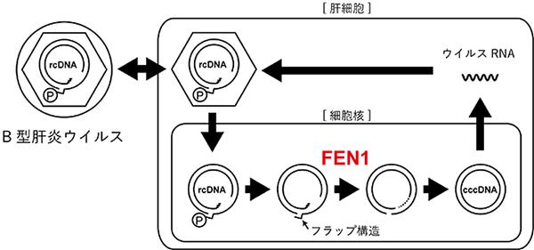 図1 B型肝炎ウイルス複製の模式図とFEN1の関与