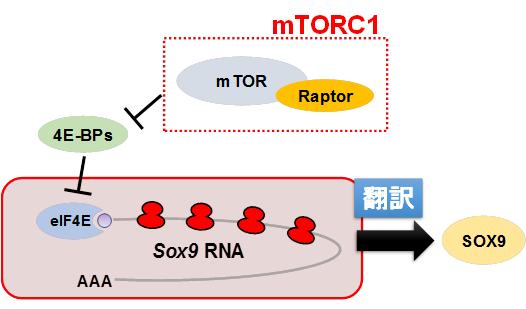 図2 mTORC1/4E-BPs経路によるSox9のRNA翻訳調節
