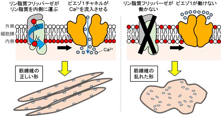筋繊維_図