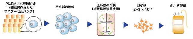 図5:血小板製造過程の確立