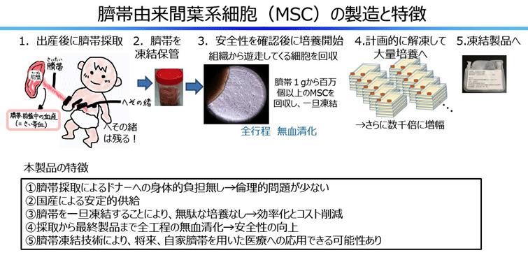 臍帯由来間葉系細胞(MSC)の製造と特徴