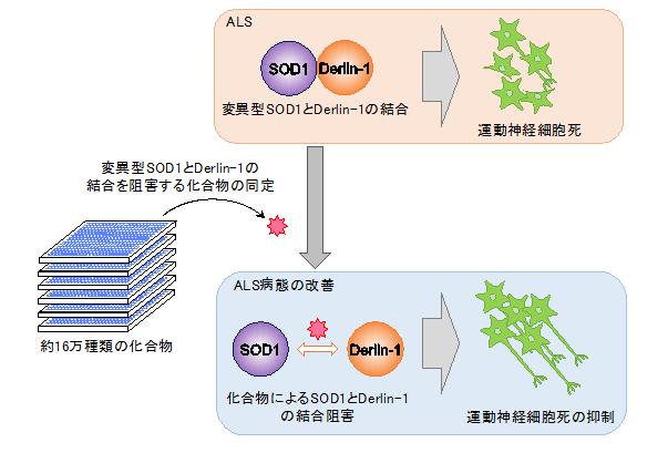 図 SOD1とDerlin-1結合阻害剤によるALS病態改善効果