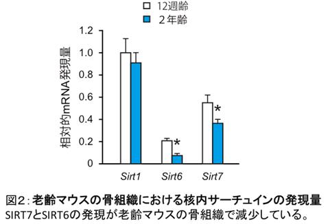 図2:老齢マウスの骨組織における閣内サーチュインの発現量