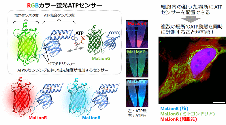 RGBカラー蛍光ATPセンサー図