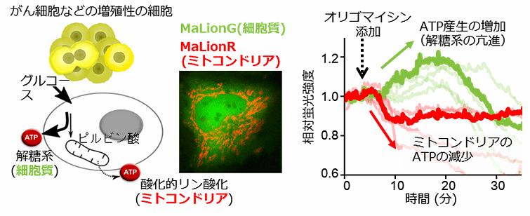 図2 がん細胞のダイナミックなATPの濃度変化を捉えた成功例