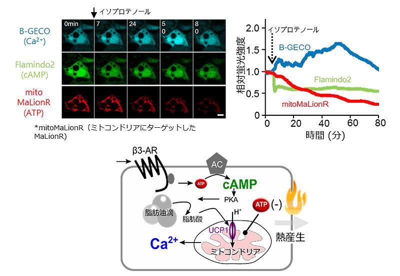 図3 褐色脂肪細胞の熱産生に関わるシグナル伝達系の可視化
