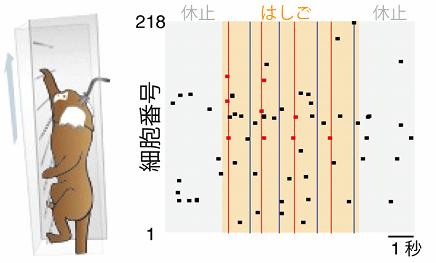図3. 自由行動環境下におけるカルシウムイメージング。