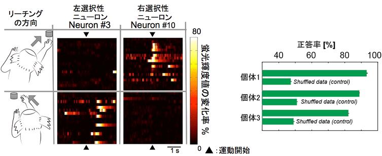 図4. 神経細胞ごとに異なる運動野神経細胞の方向選択性。